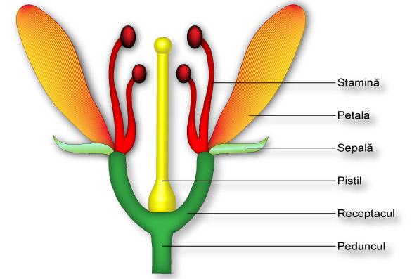 Floarea-alcaturie